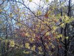 Witch hazel in bloom (Hamamelis virginiana)