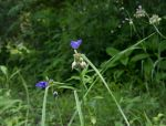 Ohio Spiderwort
