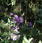 Asters, New England