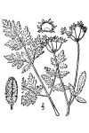 Torilis japonica (Japanese Hedge Parsley)