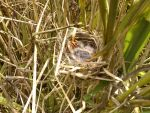 redwinged blackbird nestlings